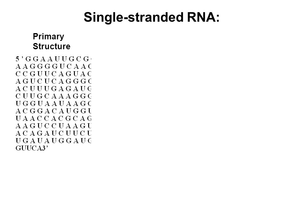 Primary Structure Single-stranded RNA:
