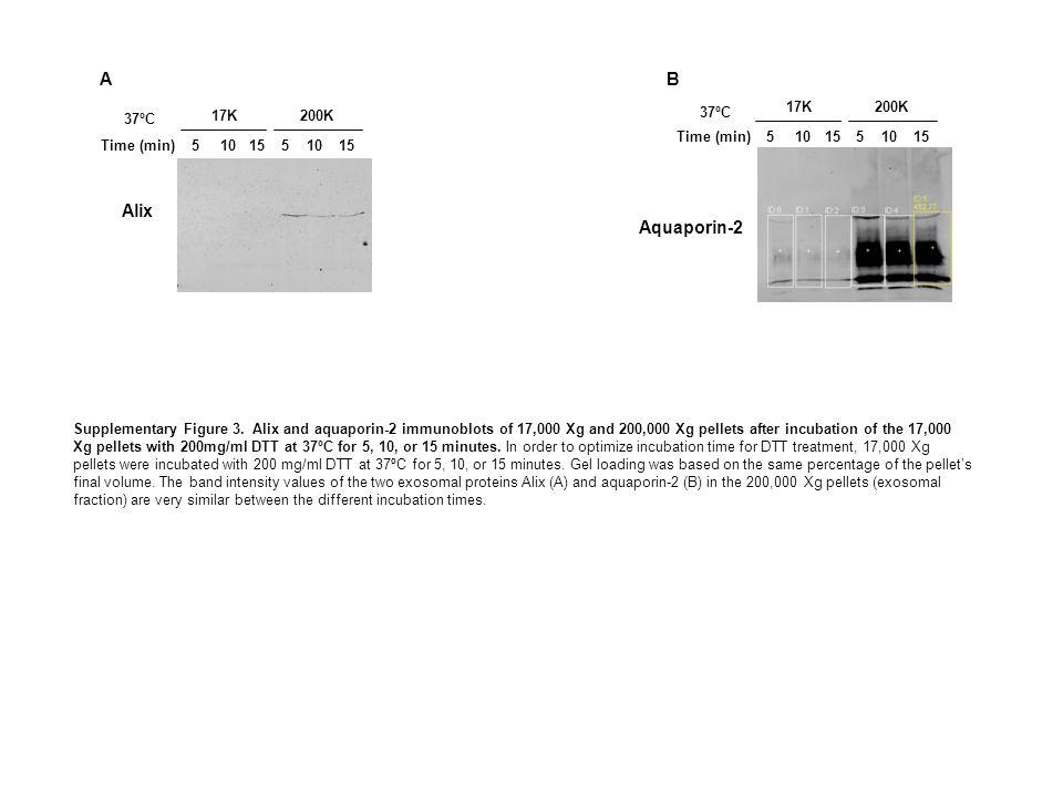 51015 17K 51015 200K Alix 37ºC 51015 17K 51015 200K Aquaporin-2 Supplementary Figure 3. Alix and aquaporin-2 immunoblots of 17,000 Xg and 200,000 Xg p