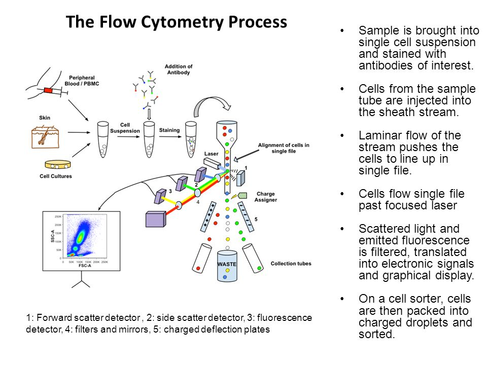 Flow Cytometric Cell Sorting = Fluoresence Activated Cell Sorting (FACS) Cells of interest can be separated to very high purity by cell-sorting flow cytometers After cells are interrogated by laser in the flow chamber, the single cell stream is broken very accurately into tiny droplets by a fine nozzle vibrating at ultrasonic frequency Very rapid computation of the signals elicited by the cell in the flow chamber makes it possible to deflect droplets carrying cells of interest using positive, neutral, or negative electric charges Droplets enter an electromagnetic field and are pushed into different sorting containers based on charge
