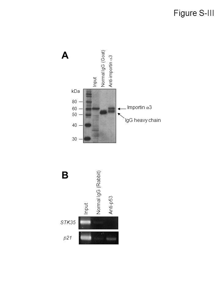Input Normal IgG (Rabbit) Anti-p53 p21 STK35 B Importin 3 IgG heavy chain kDa 30 40 50 60 80 Input Normal IgG (Goat) Anti-importin 3 A Figure S-III