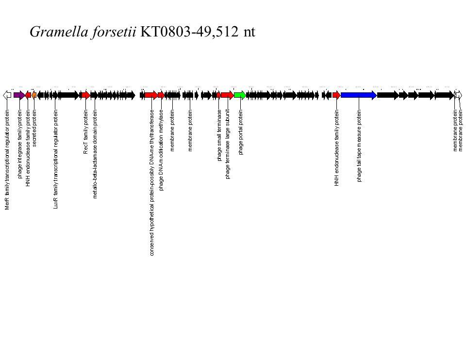 Gramella forsetii KT0803-49,512 nt