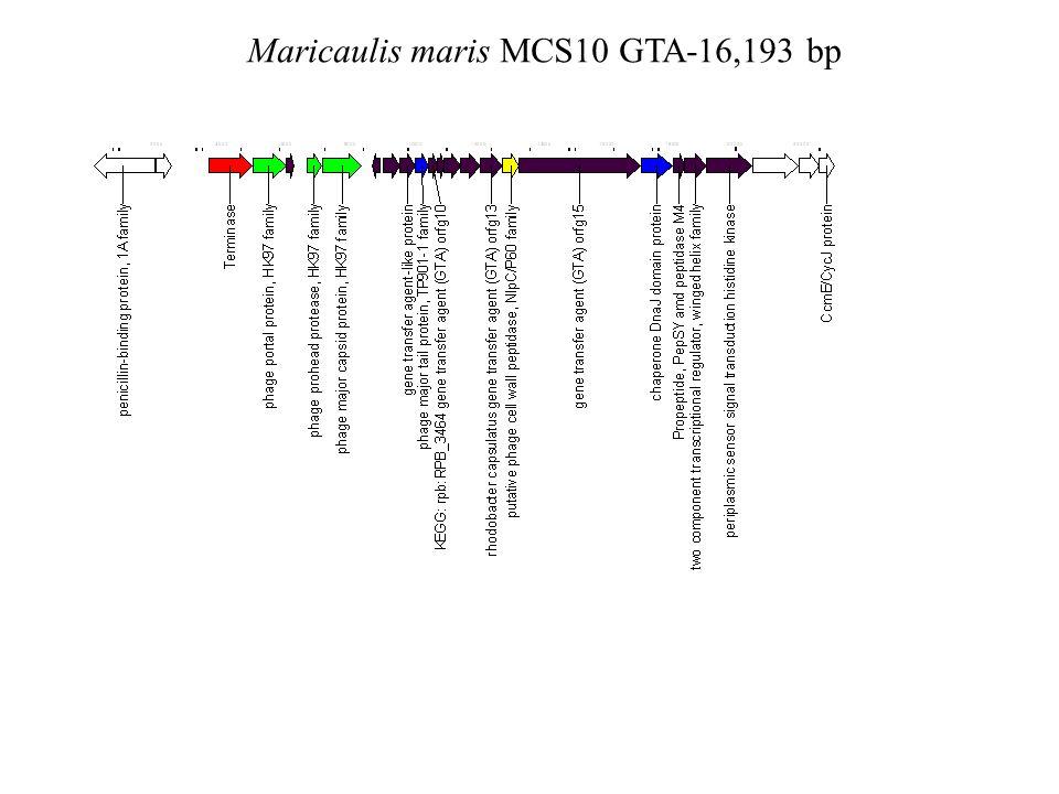Maricaulis maris MCS10 GTA-16,193 bp