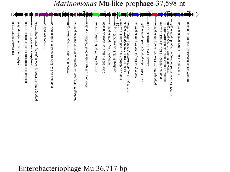 Marinomonas Mu-like prophage-37,598 nt Enterobacteriophage Mu-36,717 bp