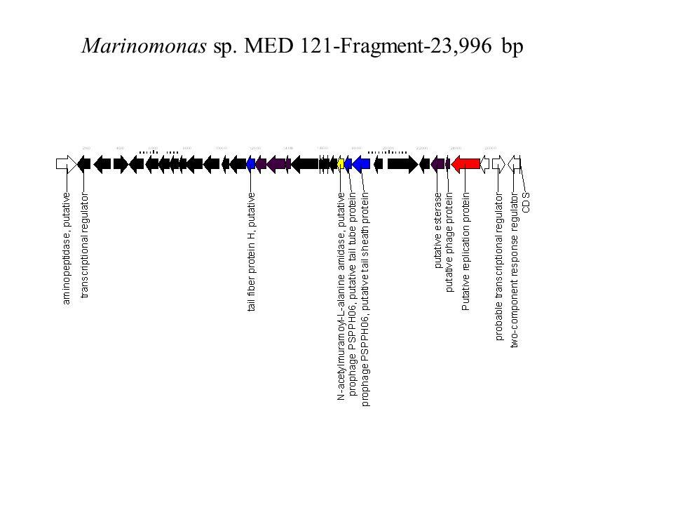 Marinomonas sp. MED 121-Fragment-23,996 bp