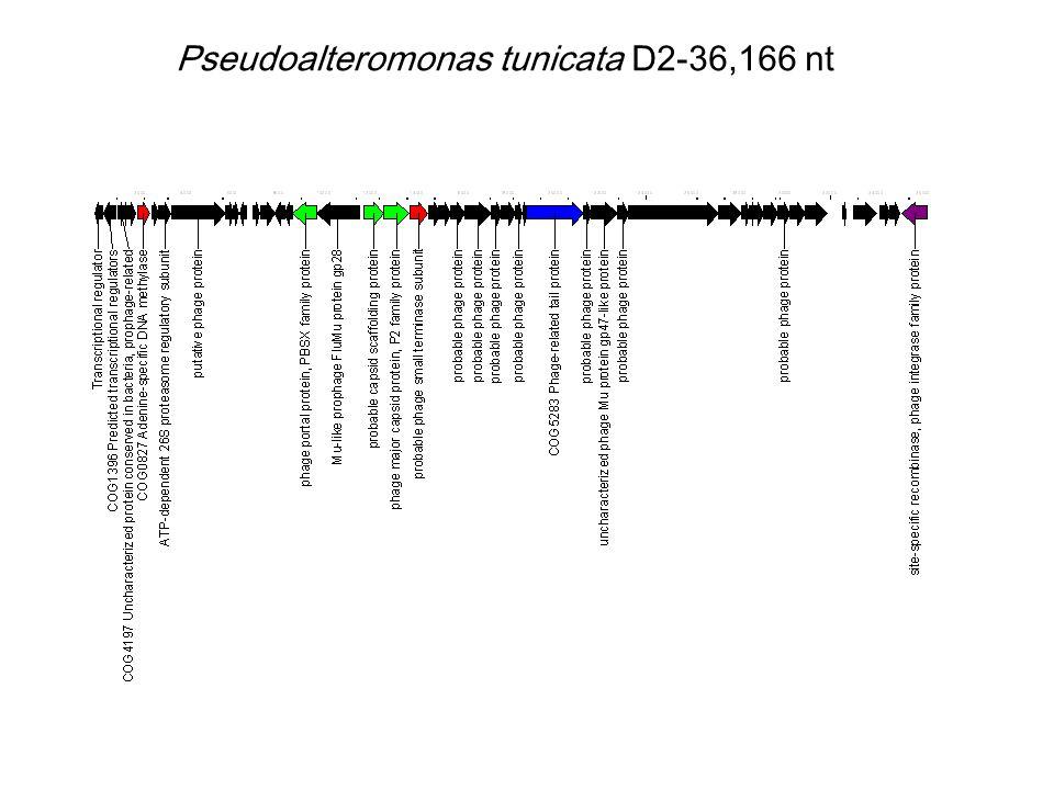 Pseudoalteromonas tunicata D2-36,166 nt