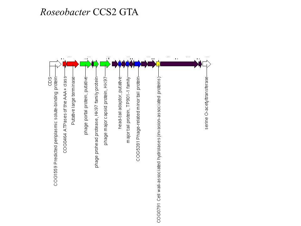 Roseobacter CCS2 GTA