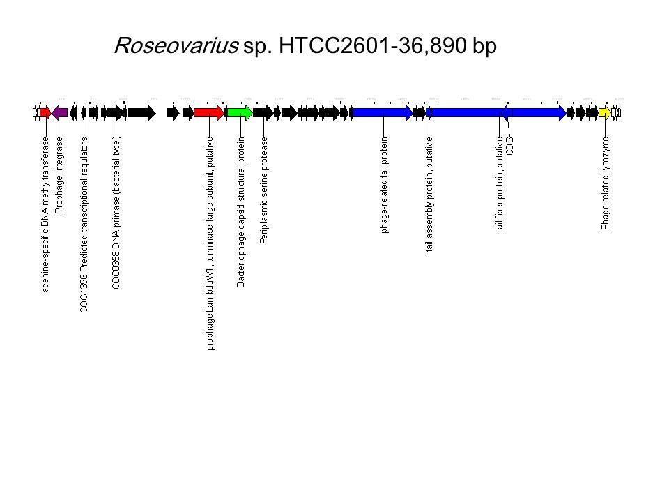 Roseovarius sp. HTCC2601-36,890 bp