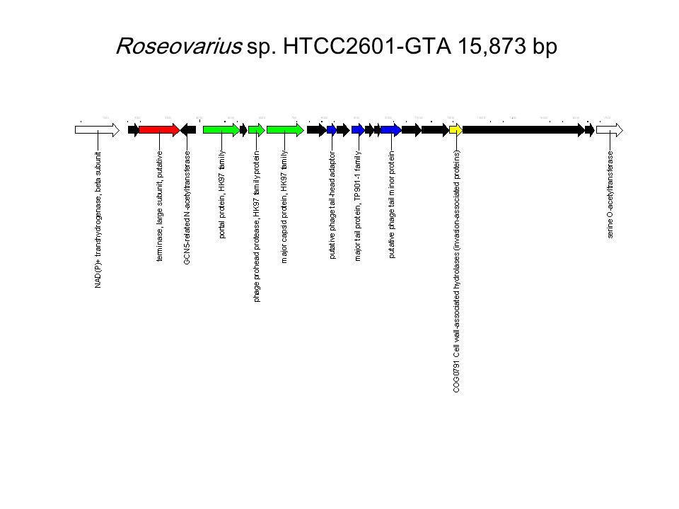 Roseovarius sp. HTCC2601-GTA 15,873 bp