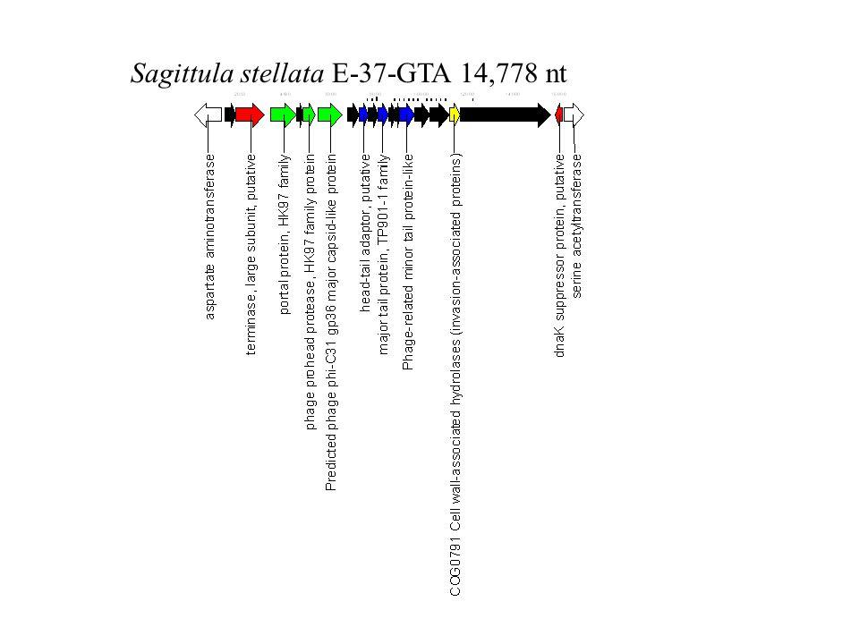 Sagittula stellata E-37-GTA 14,778 nt