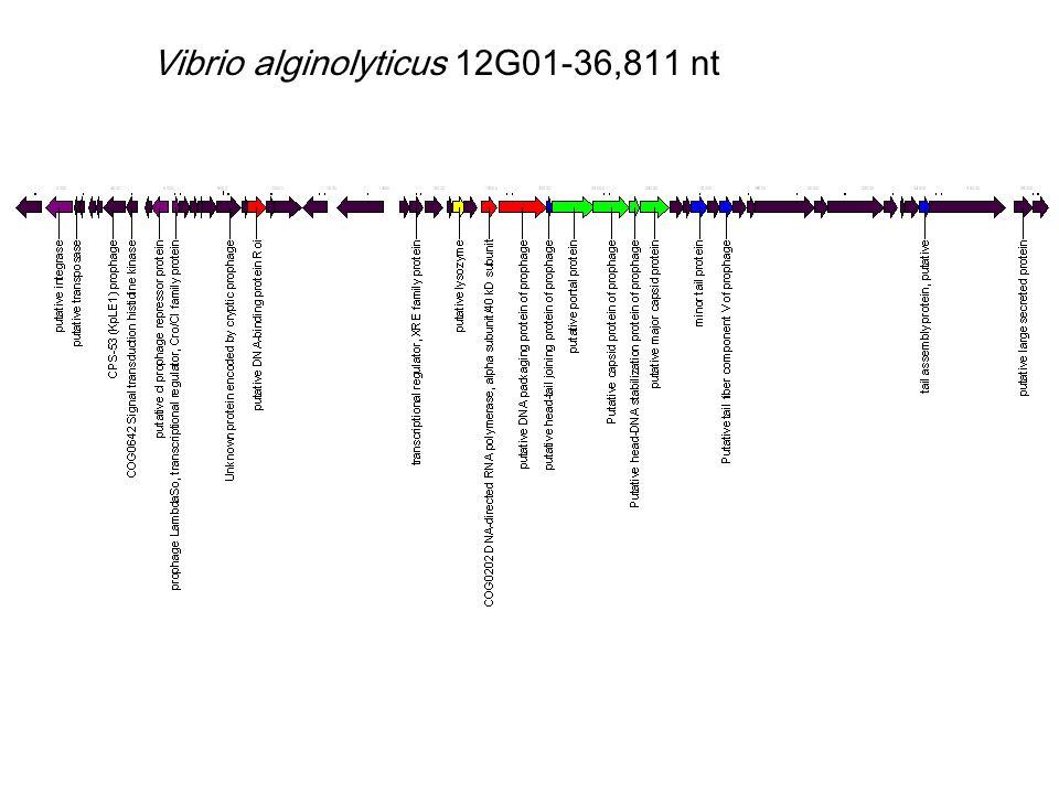 Vibrio alginolyticus 12G01-36,811 nt