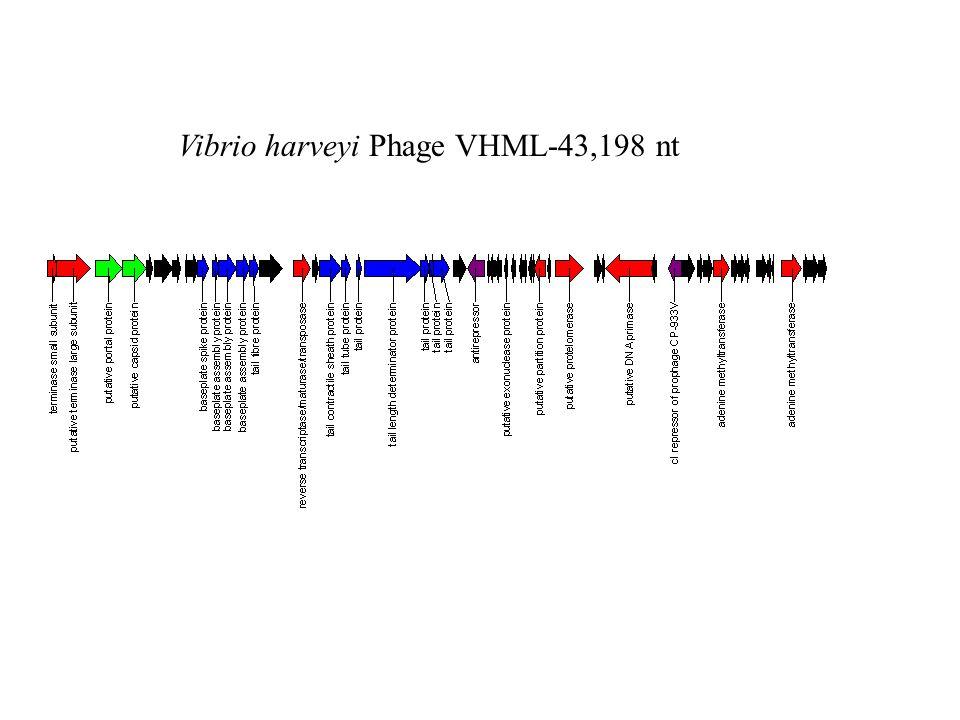 Vibrio harveyi Phage VHML-43,198 nt