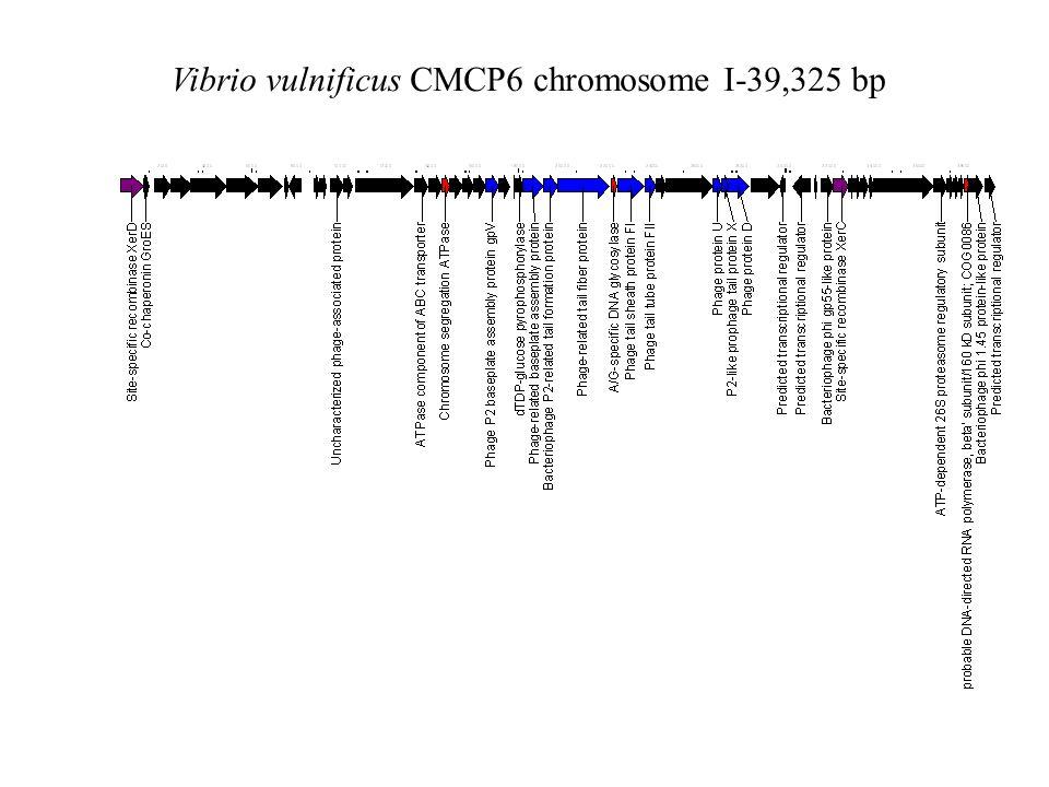 Vibrio vulnificus CMCP6 chromosome I-39,325 bp