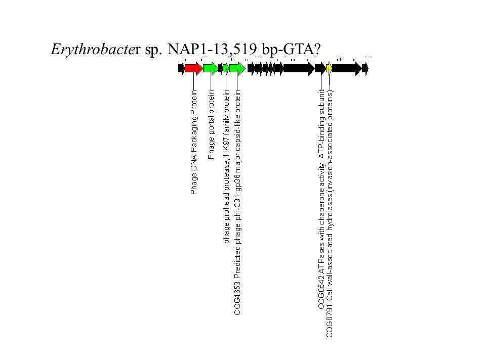 Erythrobacter sp. NAP1-13,519 bp-GTA?