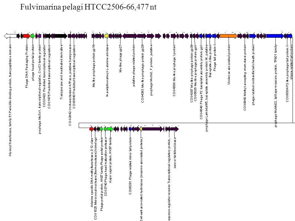 Fulvimarina pelagi HTCC2506-66,477 nt
