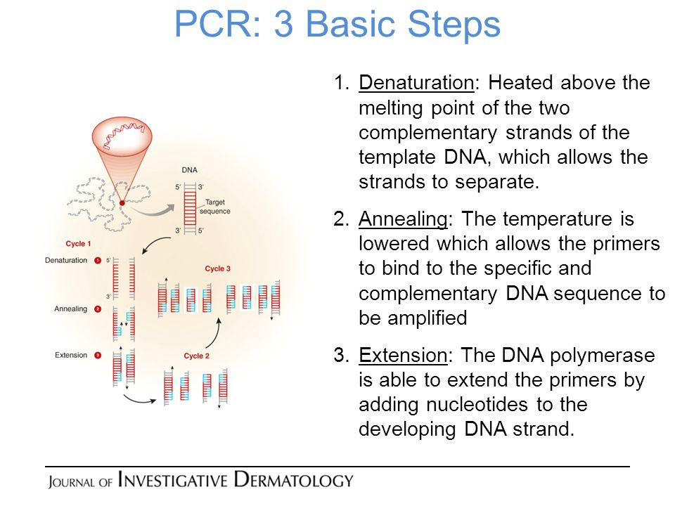 PCR: 3 Basic Steps 1.Denaturation: Heated above the melting point of the two complementary strands of the template DNA, which allows the strands to separate.