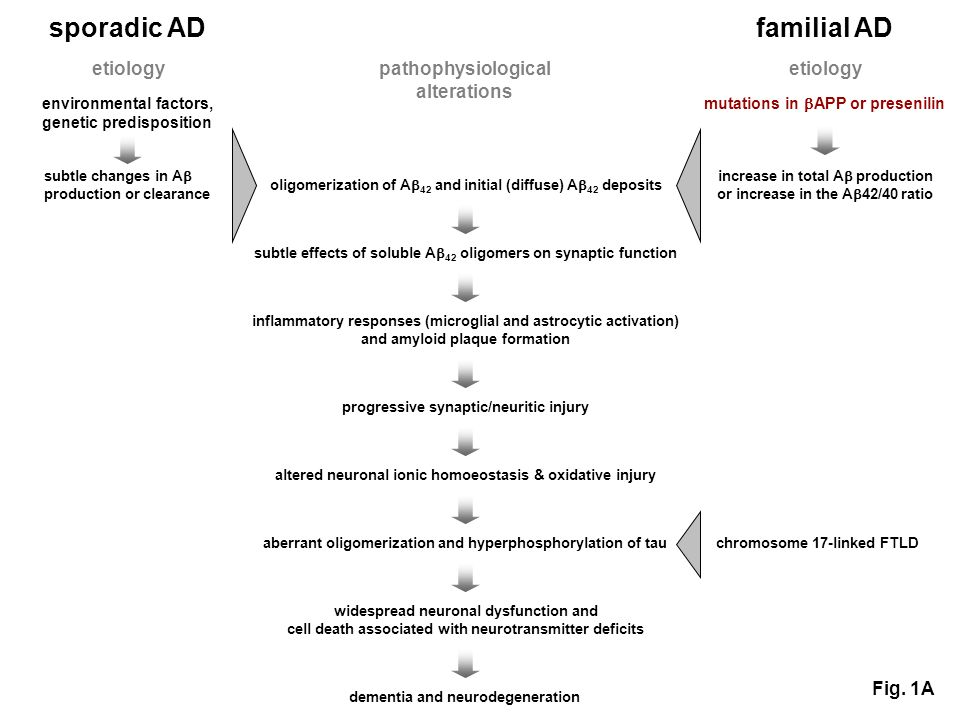 sporadic AD familial AD etiology environmental factors, genetic predisposition etiology oligomerization of A 42 and initial (diffuse) A 42 deposits subtle effects of soluble A 42 oligomers on synaptic function inflammatory responses (microglial and astrocytic activation) and amyloid plaque formation progressive synaptic/neuritic injury altered neuronal ionic homoeostasis & oxidative injury aberrant oligomerization and hyperphosphorylation of tau widespread neuronal dysfunction and cell death associated with neurotransmitter deficits dementia and neurodegeneration increase in total A production or increase in the A 42/40 ratio subtle changes in A production or clearance mutations in APP or presenilin pathophysiological alterations Fig.