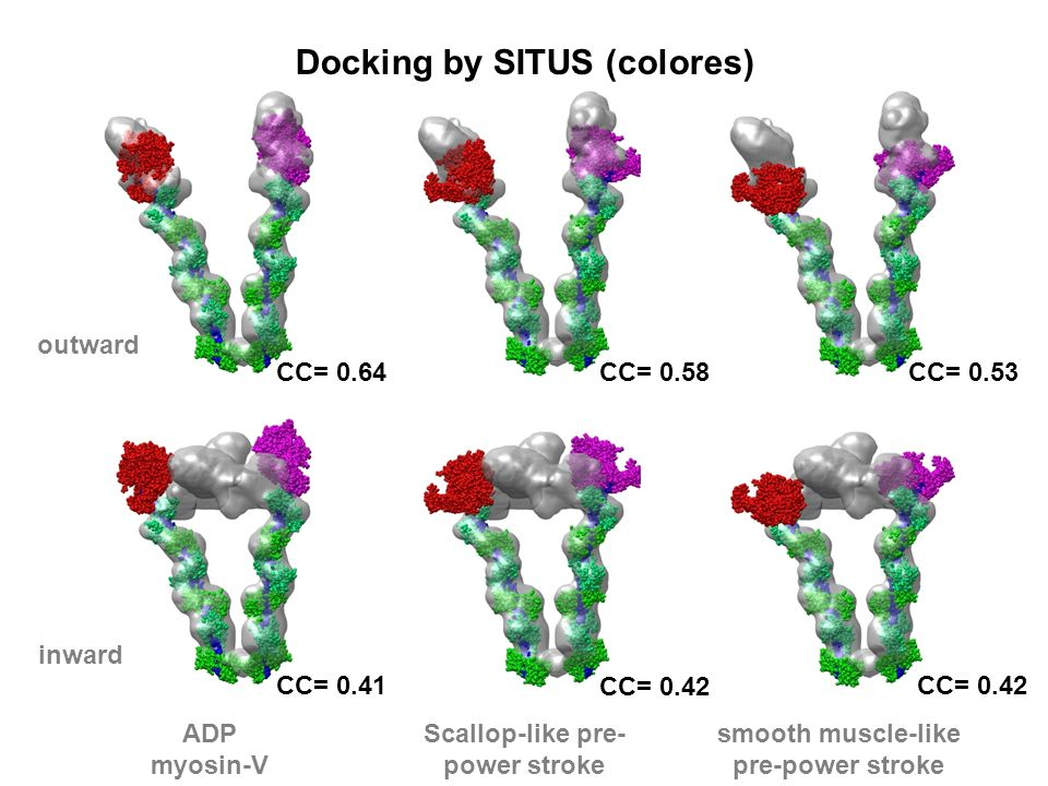 outward inward ADP myosin-V Scallop-like pre- power stroke smooth muscle-like pre-power stroke Docking by SITUS (colores) CC= 0.64CC= 0.53 CC= 0.42 CC= 0.58 CC= 0.42 CC= 0.41