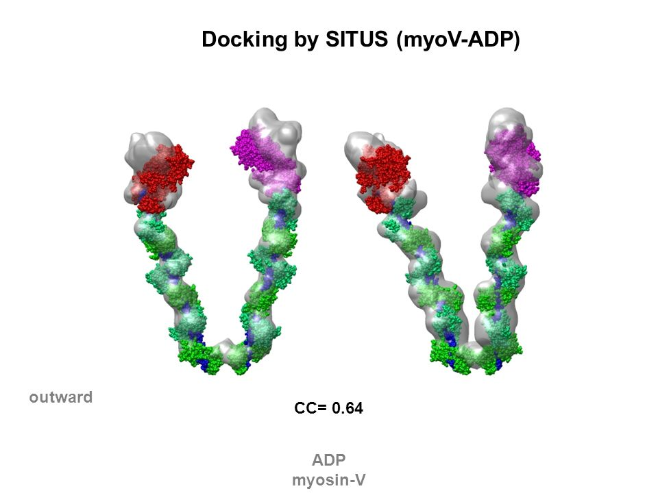 CC= 0.64 outward Docking by SITUS (myoV-ADP) ADP myosin-V