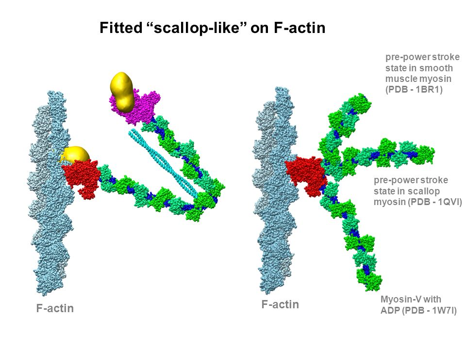 Fitted scallop-like on F-actin F-actin Myosin-V with ADP (PDB - 1W7I) pre-power stroke state in scallop myosin (PDB - 1QVI) pre-power stroke state in smooth muscle myosin (PDB - 1BR1)