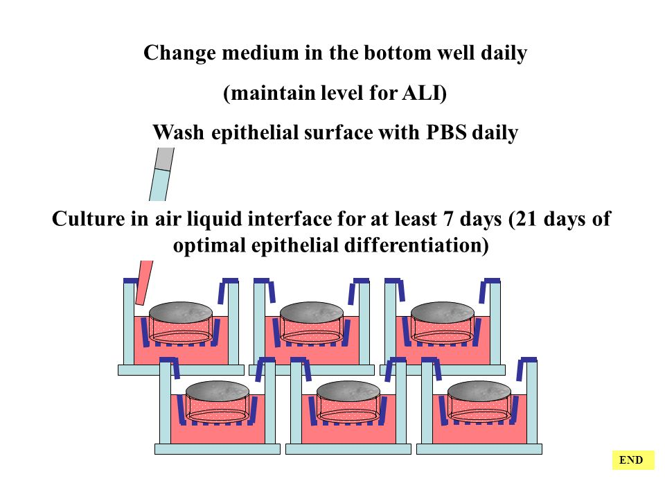 Change medium in the bottom well daily (maintain level for ALI) Wash epithelial surface with PBS daily Culture in air liquid interface for at least 7 days (21 days of optimal epithelial differentiation) END