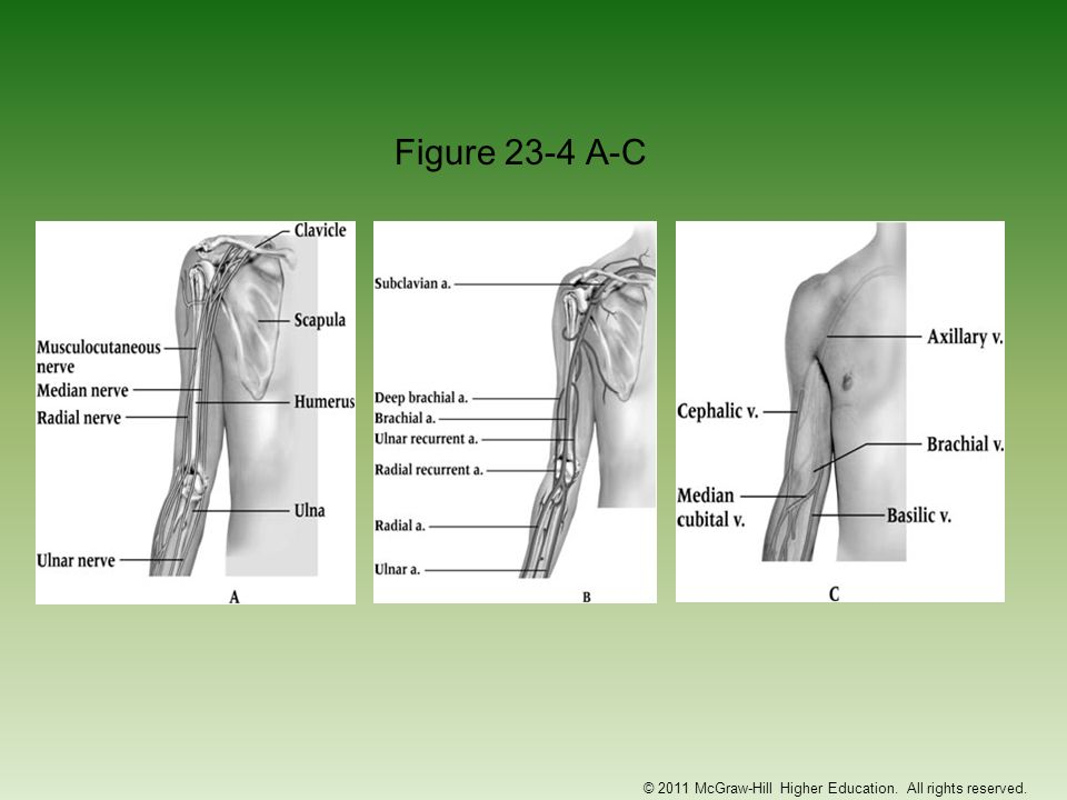 Functional Anatomy Complex that allows for flexion, extension, pronation and supination –145 degrees of flexion and 90 degrees of supination and pronation Bony limitations, ligamentous support and muscular stability at the elbow help to protect it from overuse and traumatic injuries Elbow demonstrates a carrying angle due to distal projection of humerus –Normal in females is 10-15 degrees, males 5 degrees Critical link in kinetic chain of upper extremity © 2011 McGraw-Hill Higher Education.