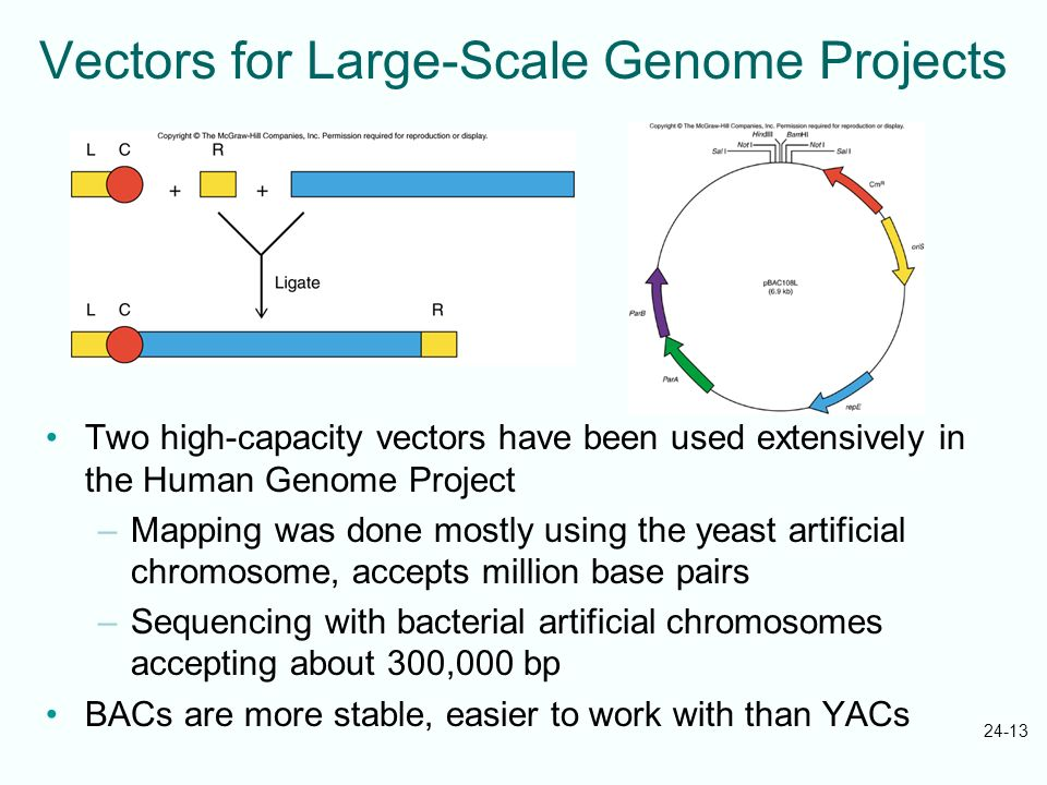 24-13 Vectors for Large-Scale Genome Projects Two high-capacity vectors have been used extensively in the Human Genome Project –Mapping was done mostl