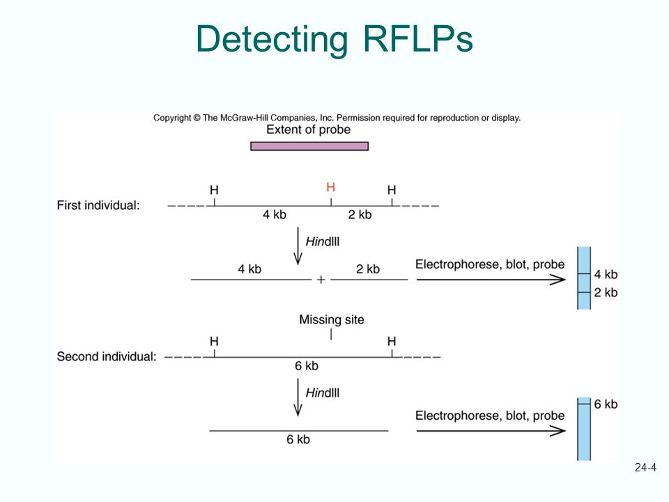 24-4 Detecting RFLPs