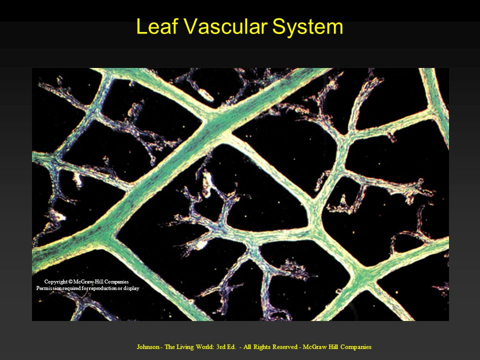 Johnson - The Living World: 3rd Ed. - All Rights Reserved - McGraw Hill Companies Leaf Vascular System Copyright © McGraw-Hill Companies Permission re
