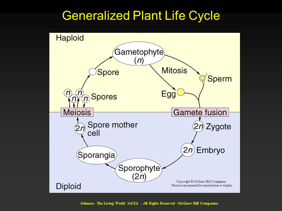 Johnson - The Living World: 3rd Ed. - All Rights Reserved - McGraw Hill Companies Generalized Plant Life Cycle Copyright © McGraw-Hill Companies Permi
