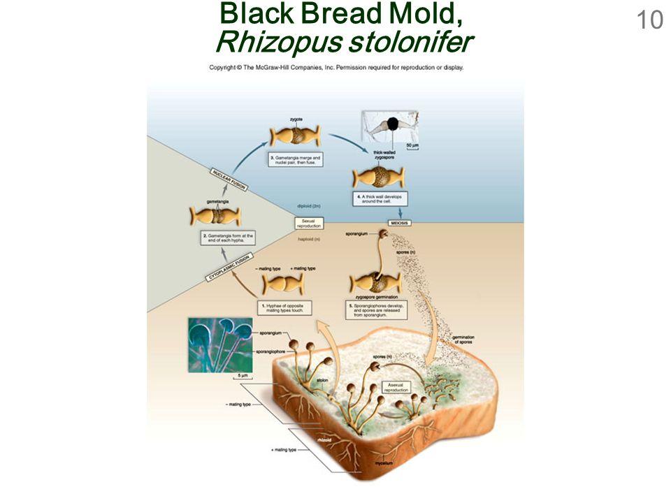 10 Black Bread Mold, Rhizopus stolonifer