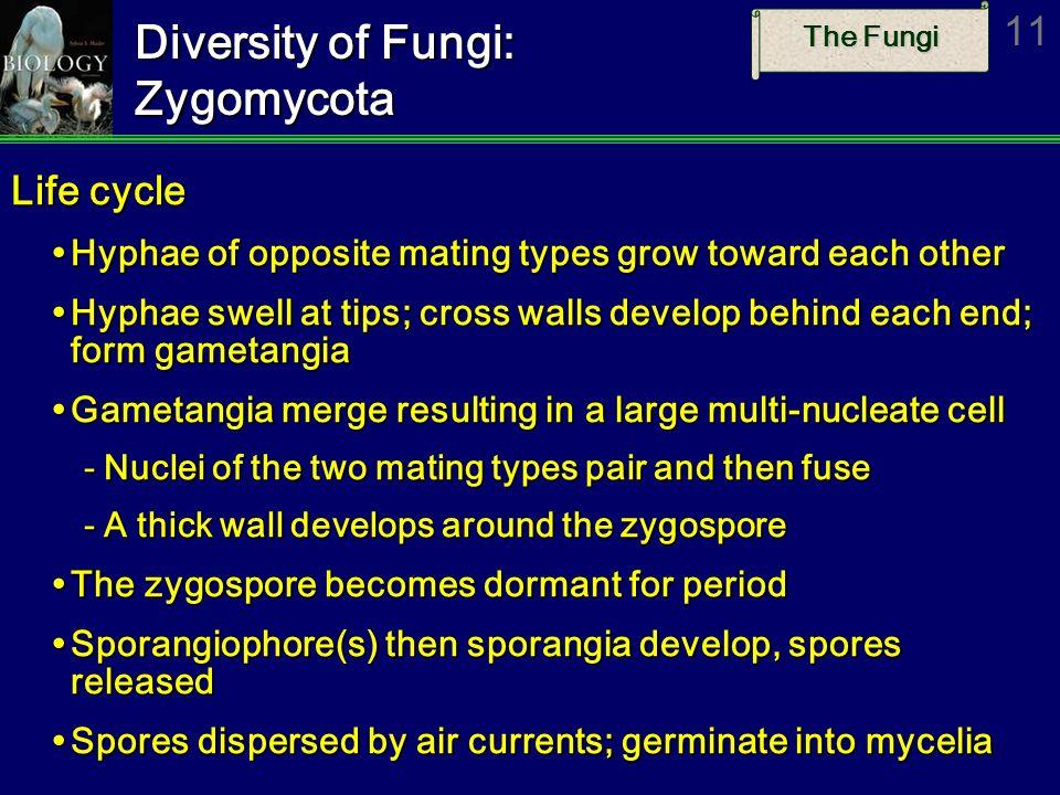 The Fungi 11 Diversity of Fungi: Zygomycota Life cycle Hyphae of opposite mating types grow toward each other Hyphae of opposite mating types grow tow