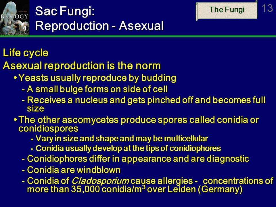 The Fungi 13 Sac Fungi: Reproduction - Asexual Life cycle Asexual reproduction is the norm Yeasts usually reproduce by budding Yeasts usually reproduc