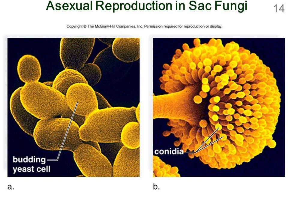 14 Asexual Reproduction in Sac Fungi