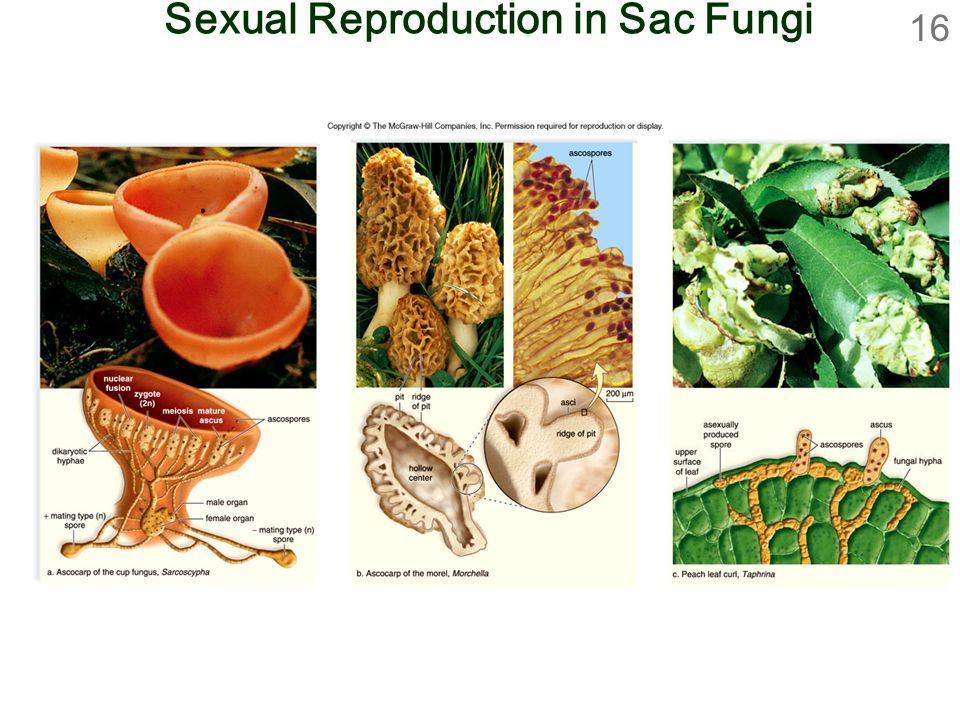 16 Sexual Reproduction in Sac Fungi