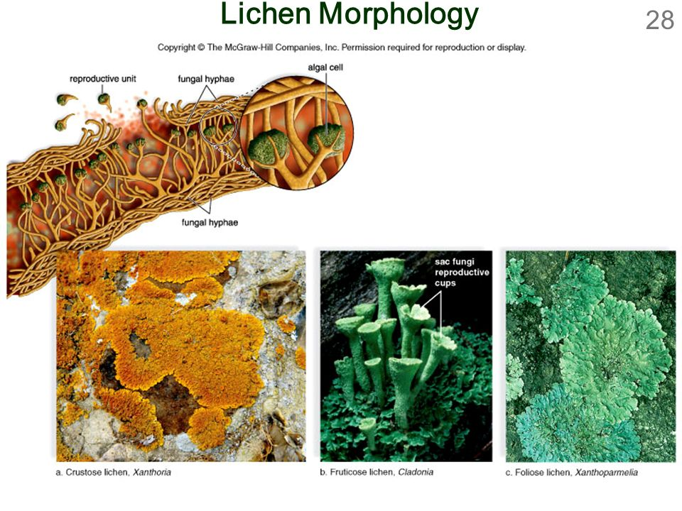 28 Lichen Morphology