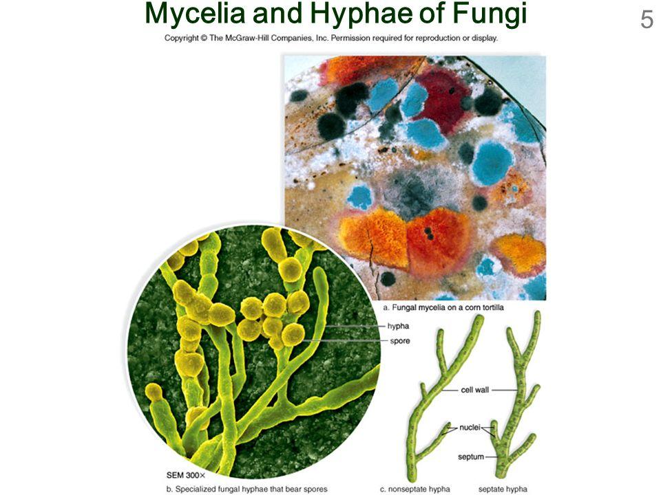5 Mycelia and Hyphae of Fungi