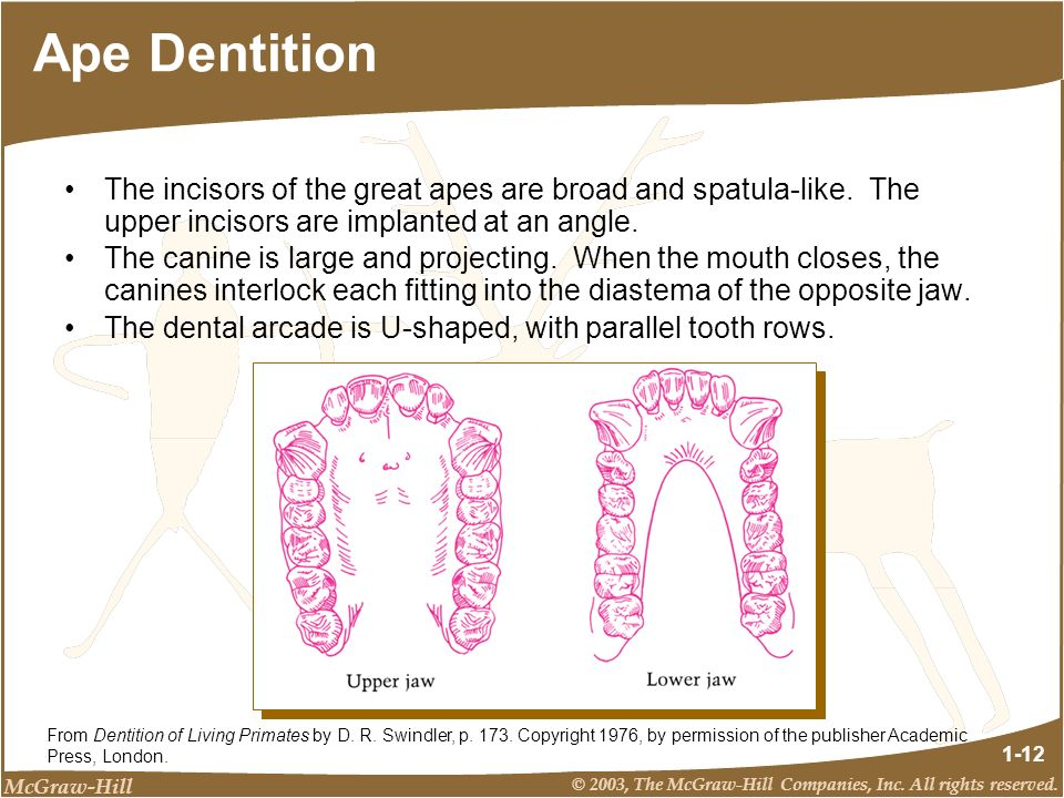 McGraw-Hill © 2003, The McGraw-Hill Companies, Inc. All rights reserved. 1-12 Ape Dentition The incisors of the great apes are broad and spatula-like.
