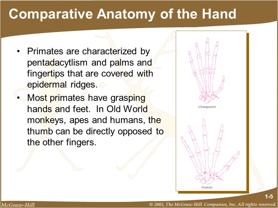 McGraw-Hill © 2003, The McGraw-Hill Companies, Inc. All rights reserved. 1-5 Comparative Anatomy of the Hand Primates are characterized by pentadacytl