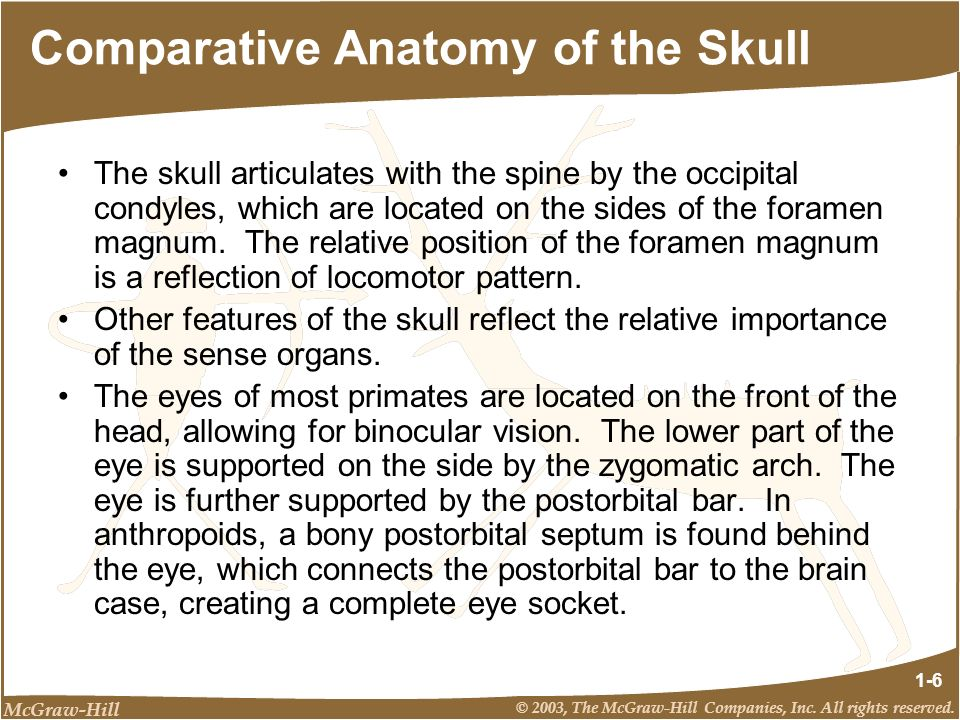 McGraw-Hill © 2003, The McGraw-Hill Companies, Inc. All rights reserved. 1-6 Comparative Anatomy of the Skull The skull articulates with the spine by
