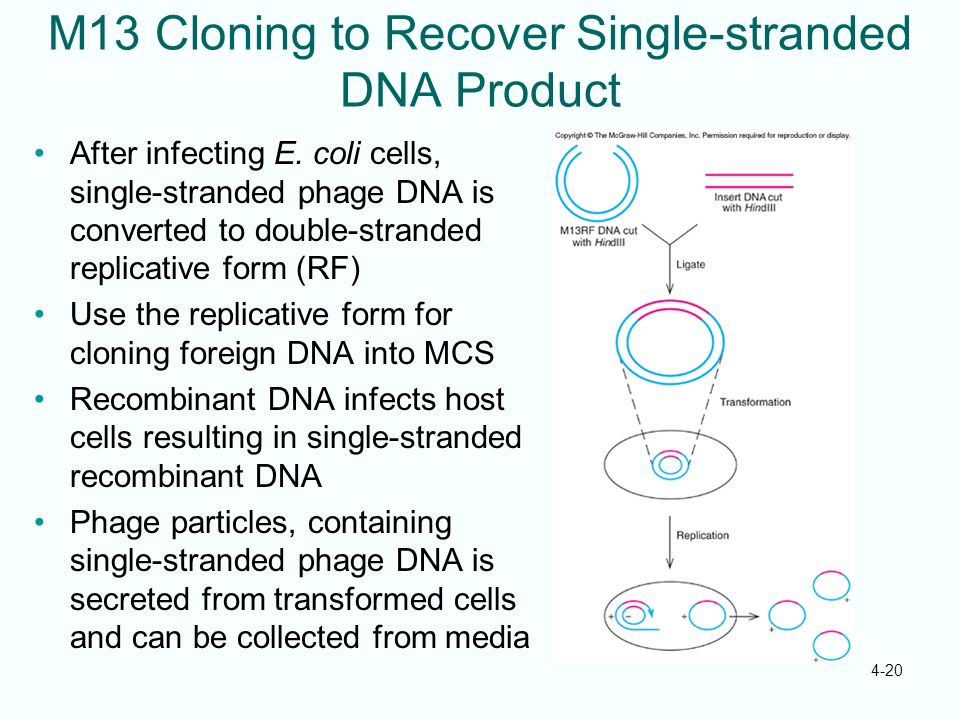 4-20 M13 Cloning to Recover Single-stranded DNA Product After infecting E. coli cells, single-stranded phage DNA is converted to double-stranded repli