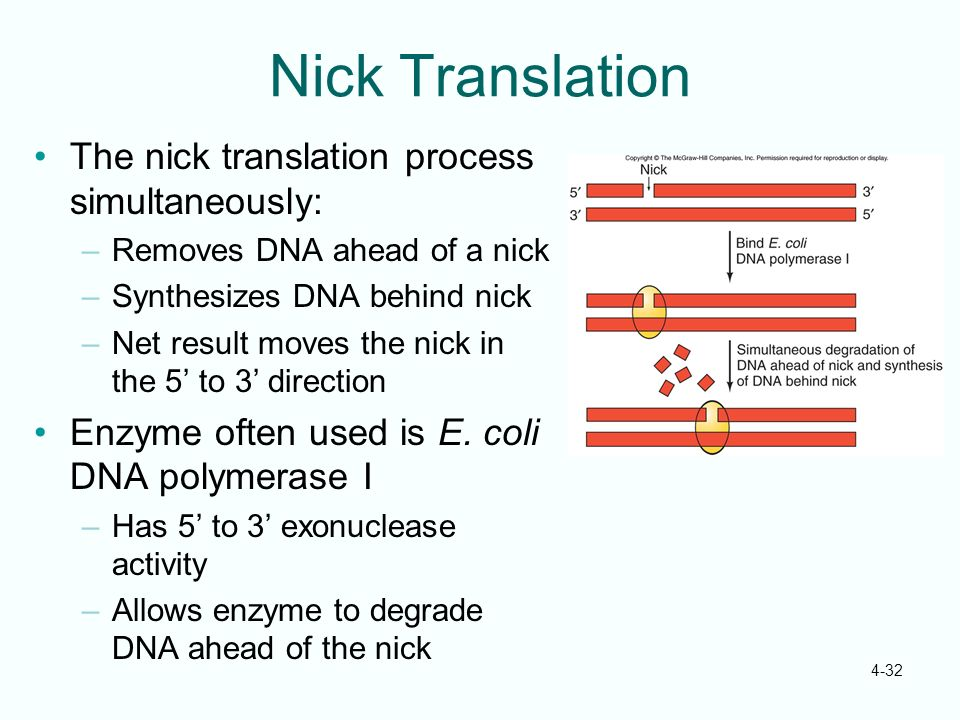 4-32 Nick Translation The nick translation process simultaneously: –Removes DNA ahead of a nick –Synthesizes DNA behind nick –Net result moves the nic