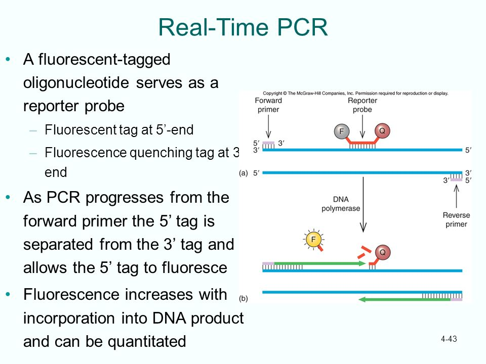 4-43 Real-Time PCR A fluorescent-tagged oligonucleotide serves as a reporter probe –Fluorescent tag at 5-end –Fluorescence quenching tag at 3- end As