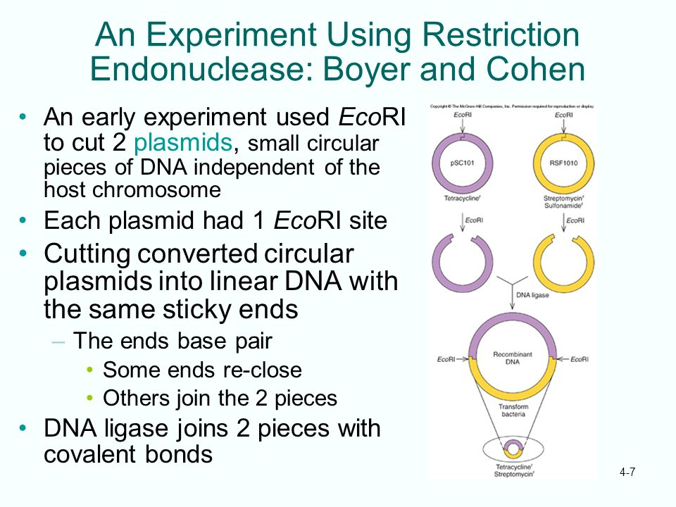 4-7 An Experiment Using Restriction Endonuclease: Boyer and Cohen An early experiment used EcoRI to cut 2 plasmids, small circular pieces of DNA indep