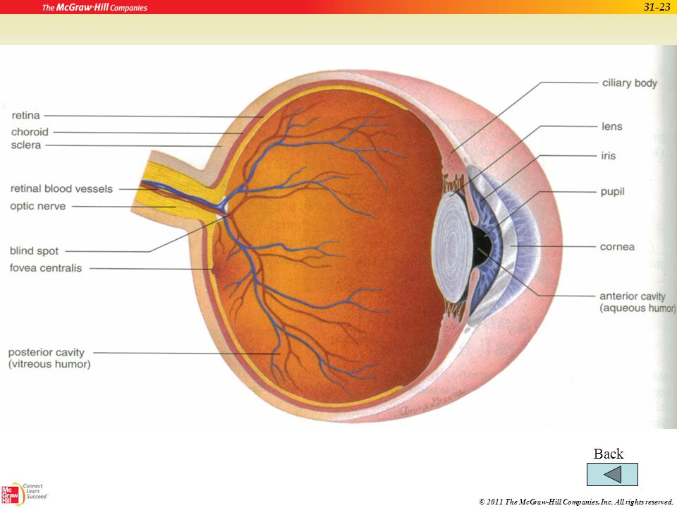 © 2011 The McGraw-Hill Companies, Inc. All rights reserved. 31-22 Eye and Sense of Sight (cont.) Chambers of the eye –Anterior chamber Front of lens F