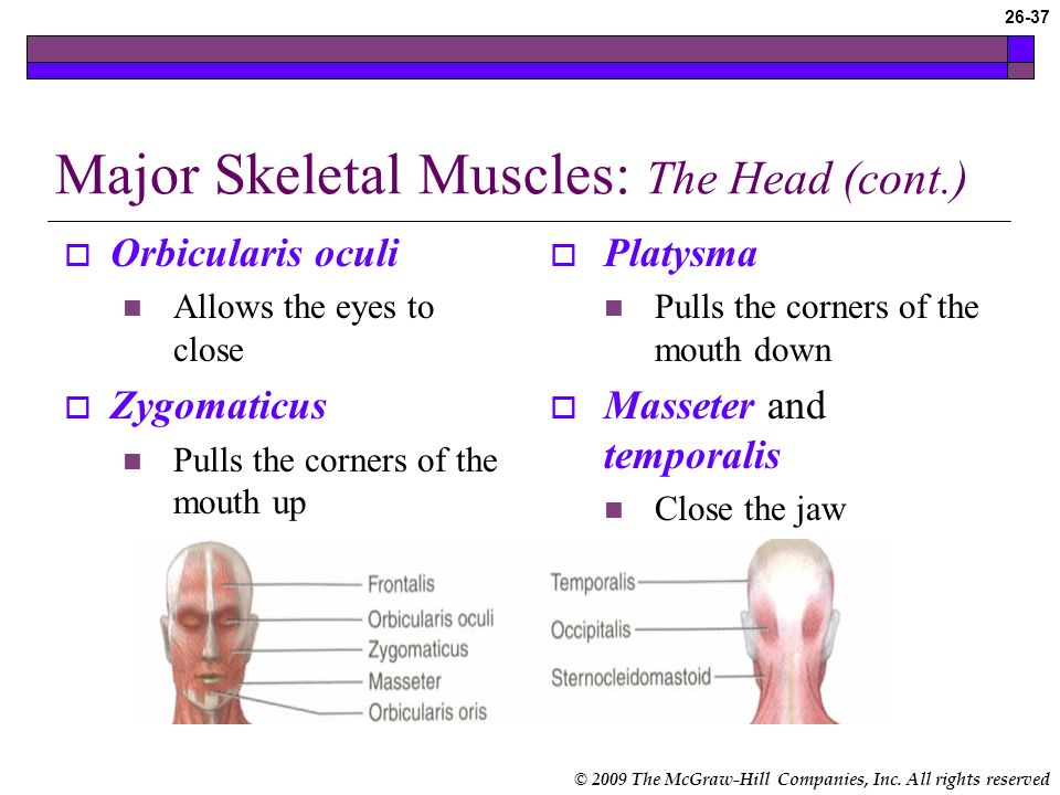 © 2009 The McGraw-Hill Companies, Inc. All rights reserved 26-36 Major Skeletal Muscles: The Head Sternocleidomastoid Pulls the head to one side Pulls