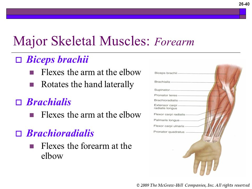 © 2009 The McGraw-Hill Companies, Inc. All rights reserved 26-39 Major Skeletal Muscles: Upper Arm (cont.) Deltoid Abducts and extends the arm at the