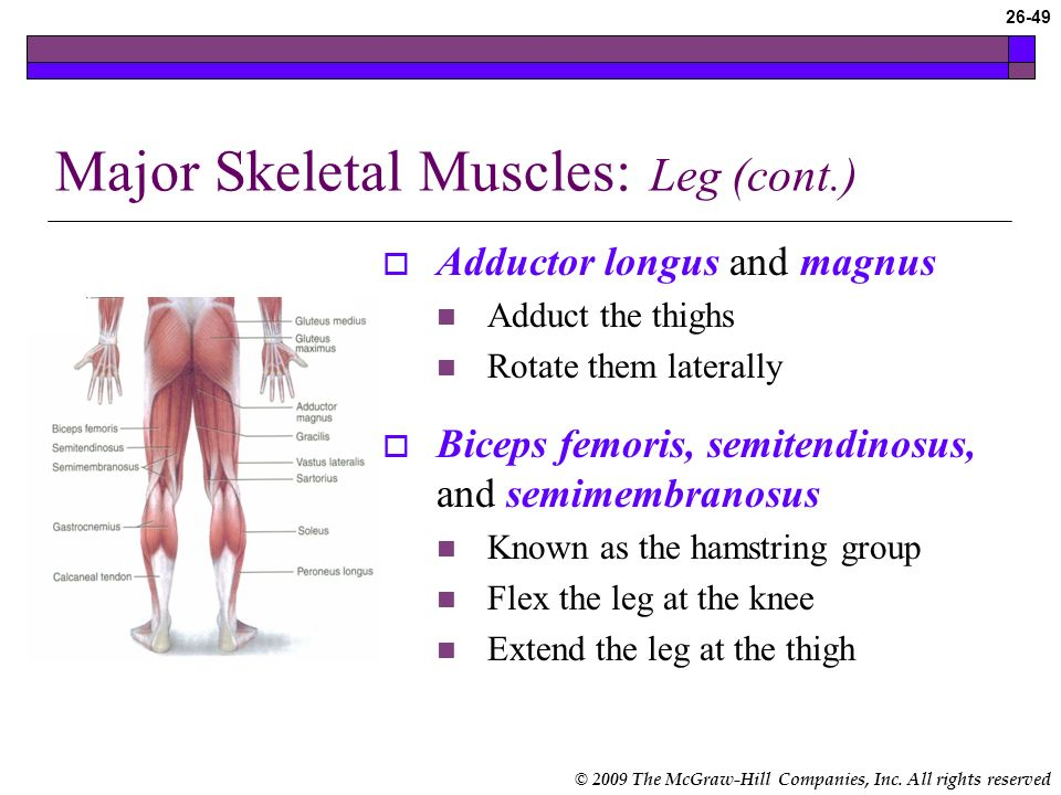 © 2009 The McGraw-Hill Companies, Inc. All rights reserved 26-48 Major Skeletal Muscles: Leg Psoas major and iliacus Flexes the thigh Gluteus maximus