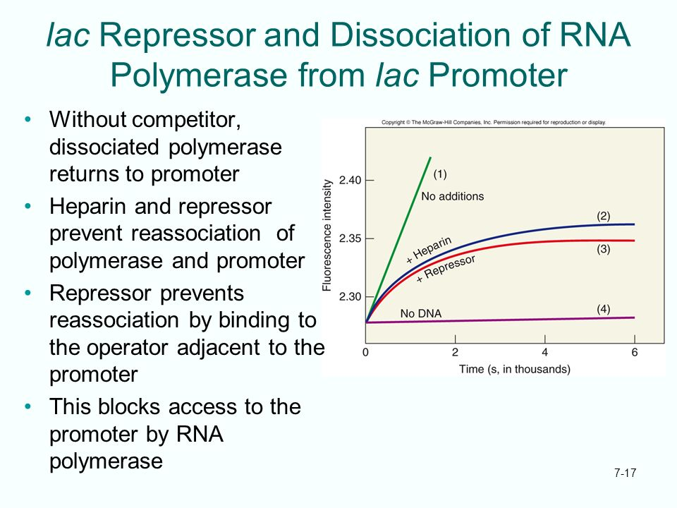 7-17 lac Repressor and Dissociation of RNA Polymerase from lac Promoter Without competitor, dissociated polymerase returns to promoter Heparin and rep