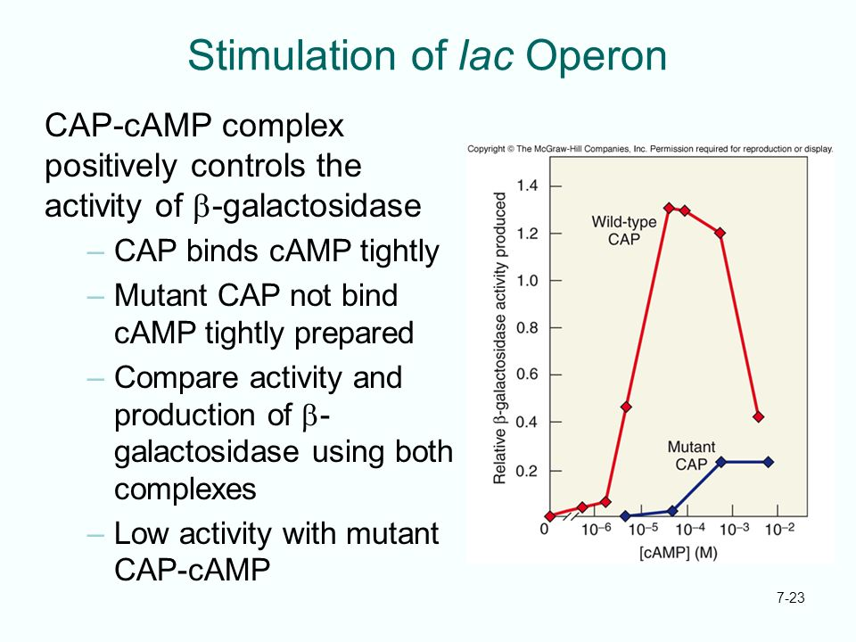 7-23 Stimulation of lac Operon CAP-cAMP complex positively controls the activity of -galactosidase –CAP binds cAMP tightly –Mutant CAP not bind cAMP t