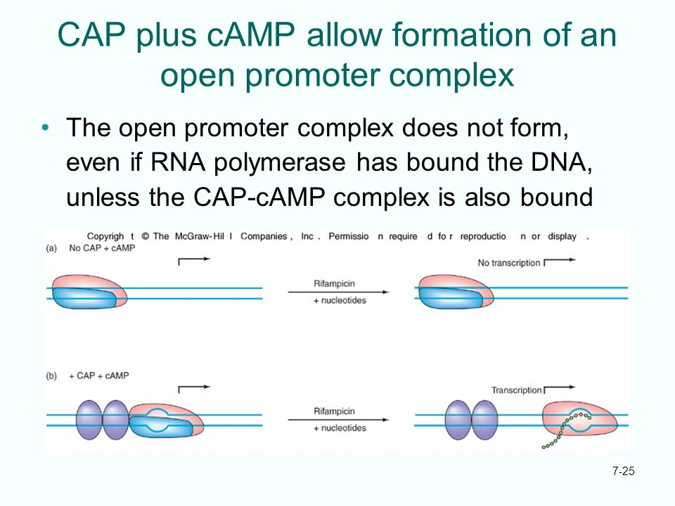 7-25 CAP plus cAMP allow formation of an open promoter complex The open promoter complex does not form, even if RNA polymerase has bound the DNA, unle